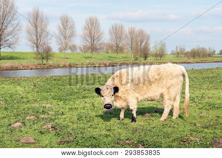 Backlit Image Of A White Galloway Cow With Black Ears Looks Curiously At The Photographer. The Photo