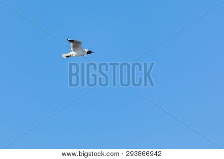 The alone flying gull or mew in the spring sunny day in the city park on the background of the clear blue sky poster