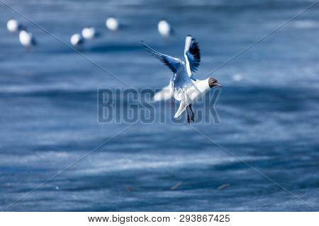 The alone flying gull or mew in the spring sunny day in the city park on the background of the river or lake ice poster