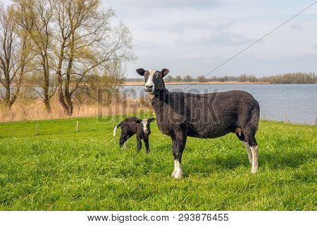 Black Mother Sheep Poses For The Photographer With Her Newborn Lamb In The Background. The Sheep Are