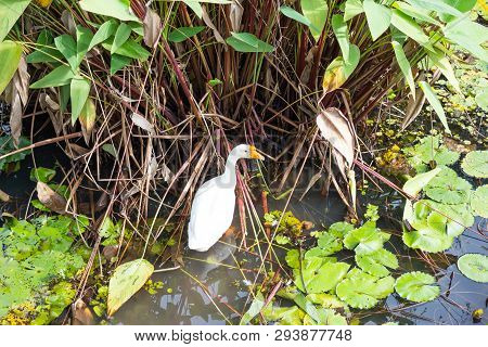 White Goose Find To Eat In Pond