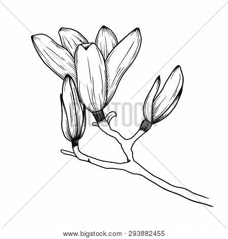 Magnolia Flowers. Realistic Sketch Of A Blooming Flower. Vector Illustration In Sketch Style.