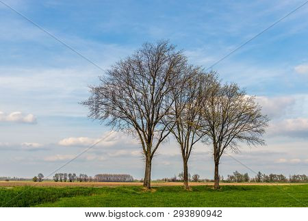 Three Tall Leafless Trees In The Foreground Of A Dutch Rural Landscape On A Sunny Day In The Beginni