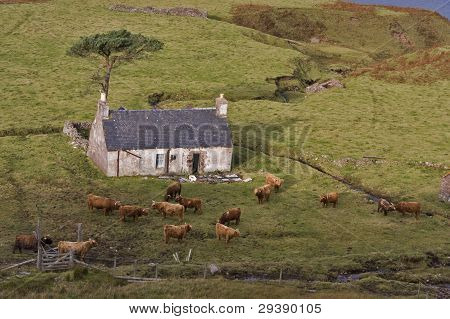 old abandoned house in north scotland with highland cattle poster