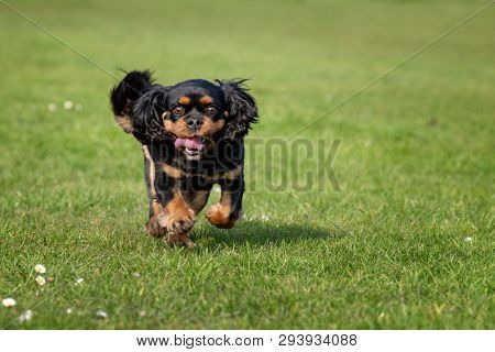 Black and tan Cavalier King Charles spaniel running in the park. Green grass background with space for text.