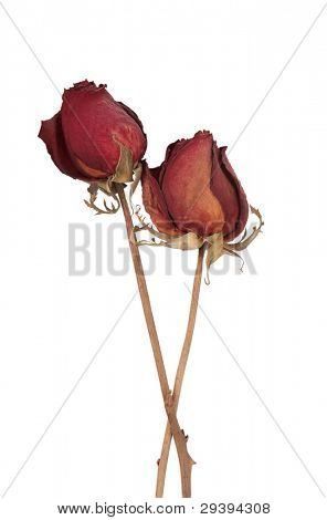 two dead roses isolated on white background.