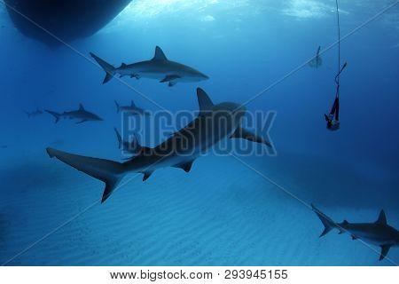 Eight Caribbean Reef Sharks (carcharhinus Perezi) During Safety Stop. Tiger Beach, Bahamas