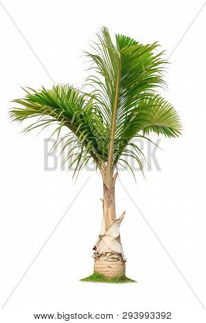 Isolated Big Palm Tree On White Background.large Palm Trees Database Botanical Garden Organization E