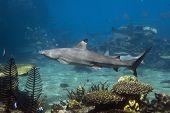 Blacktip Reef Shark (Carcharhinus melanopterus) swimming over tropical coral reef. poster