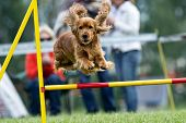 Agility - obstacle courses dog skill competition poster