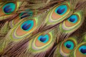 Close up picture of colorful peacock feathers. poster