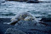 turtle resting on a black sand beach poster