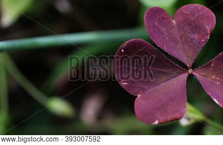 Macro Photo Of A Lucky Plant Clover. Flower Plant Clover With Violet Petals Grows In The Ground Agai