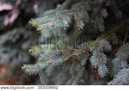 Colorado Blue Spruce (picea Pungens) Grey-green Needles Background. White Spruce, Green Spruce, Blue