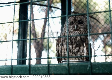 Owl Sleeping In Daylight With One Eye Opened. Wild Animal Held Captive, Peeking At Tourists In A Zoo