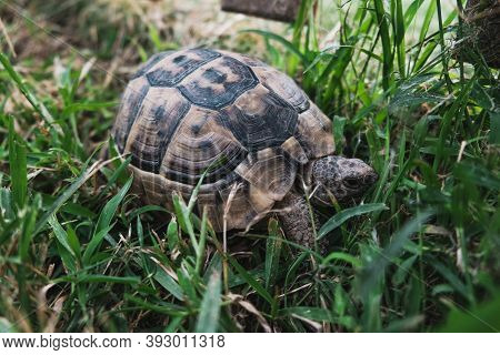 Beautiful Turtle With Textured Shell Unnoticeable In Bright Green Grass. Reptile Walking Or Crawling