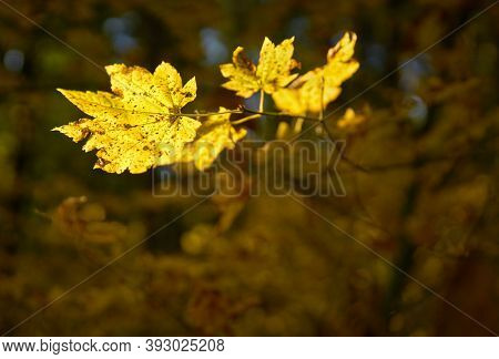 Golden Leaves In Autumn. Fall Leaves On A Forest Trail Through Campbell Valley Regional Park In Lang