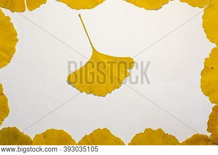 Yellow Leaves Of A Gingko Tree Forming A Frame On A White Background With A Single Leaf In The Middl