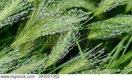 Rain Drops On Green Grass. Fresh Morning Dew On Spring Grass. Natural Background Close Up Macro With