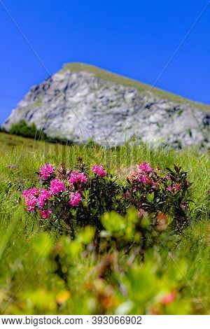 Flowers On The Ifinger Mountain Near Meeran