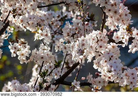 Tiny Apple Blossom. Beautiful Nature Background In Springtime. Sunny Weather. Decorative Plant