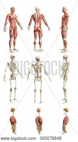 9 High Resolution Renders In 1, Mans Body With Muscle Map And Skeleton And Organs - Physiology Study