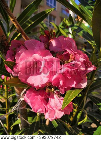 Close Up View White Oleander Or Nerium Flower Blossoming On Tree. Oleander Is One Of The Most Poison