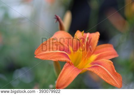 Day Lily Hermerocallis Close Up With Soft Green Background, Shallow Dof, Focus On The Anthers.