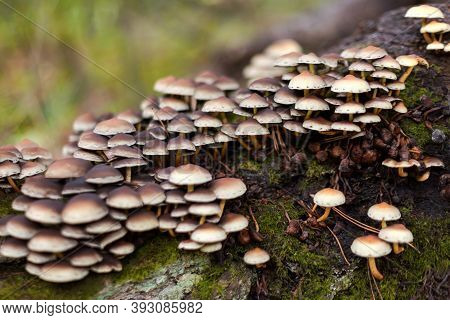 Enokitake Mushroom, Enoki, Futu, Seafood Mushroom, Growing Edible Gourmet And Medicinal Fungi On Tre