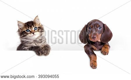 tabby fluffy kitten and dachshund puppy, banner, cat and dog