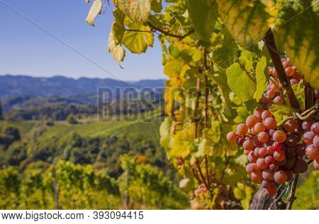 Ripe Wine Grapes In The Vineyards Along South Styrian Wine Road, A Charming Region On The Border Bet