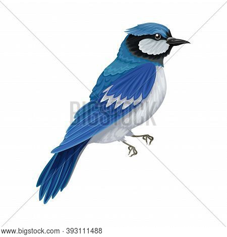 Blue Jay As Warm-blooded Vertebrates Or Aves With Feathers And Toothless Beaked Jaw Vector Illustrat