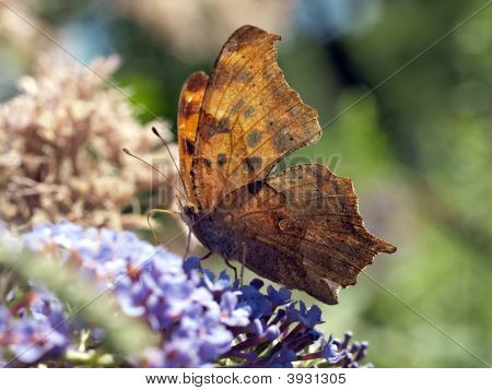 Question Mark Butterfly on lilac bush in Central Park poster