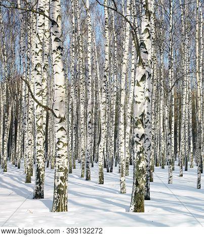 Beautiful Winter Birch Trunks In February Sunlight