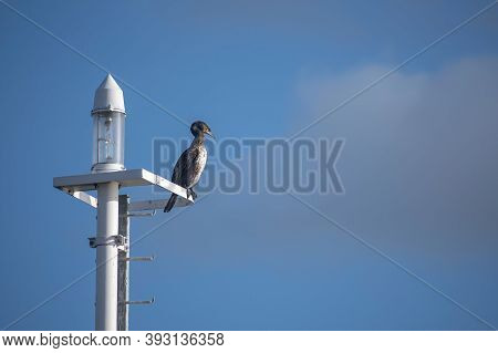 Great Cormorant (phalacrocorax Carbo) Is Sitting On A Modern Streetlamp, The Seabird Is Also Known A