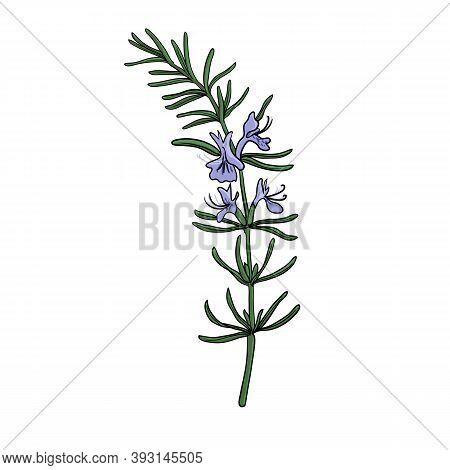 Vector Drawing Rosemary Plant, Rosmarinus Officinalis , Hand Drawn Illustration Of Medicinal Plant