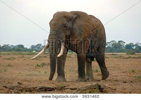 An Elephant In The African Savannah