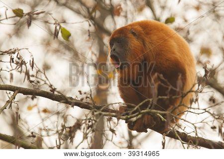 Mantled Howler (alouatta Seniculus) Howling
