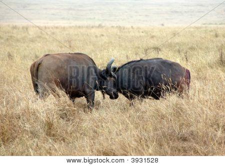 Buffalo fighting in the crater of Ngorongoro Tanzania poster