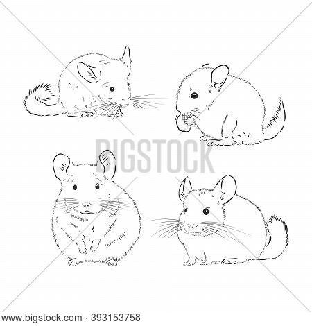 Chinchilla Dog Sketch Style Vector Illustration. Chinchilla Animal Vector Sketch Illustration