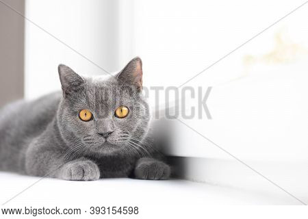 A Grey Cat Is Lying On The Windowsill. British Cat. Article About Pets. Copy Space. Window Sill Adve