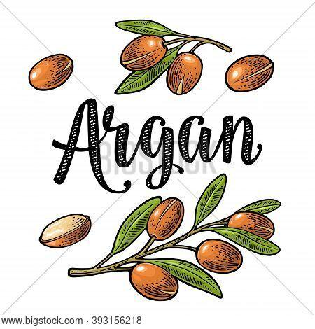 Set Of Argan Branches, Leaves, Nuts. Vector Vintage Engraving