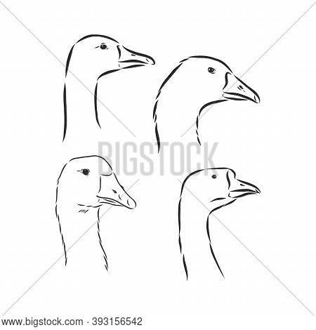 Vector Illustration Of Engraving Goose On White Background . Goose Bird Vector Sketch Illustration