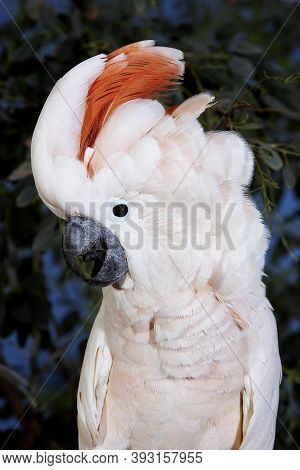 Salmon-crested Cockatoo Or Moluccan Cockatoo, Cacatua Moluccensis, Adult Shouting