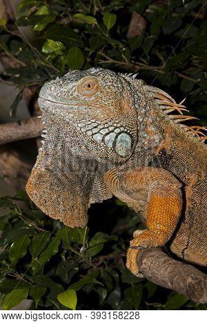 Green Iguana Iguana Iguana, Adult Standing On Branch