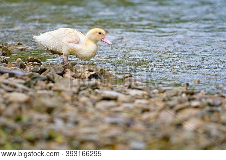 Duckling Swimming In Crystal Clear Water Sunny Summer Day.
