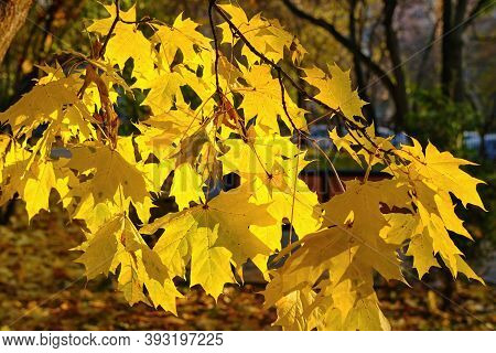 Leaf Fall. Lush Maple Branch With Bright Yellow Golden Autumn Leaves Shining In Bright Sunshine On B