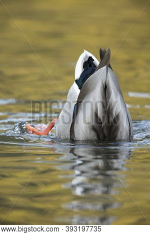 Mallard Duck Is Upside Down In A Pond Searching For Food At Cannon Hill Park In Spokane, Washington.