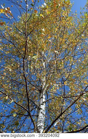 Birch with many yellow leaves on the branches on sunny autumn day under cloudless blue sky view from the bottom up