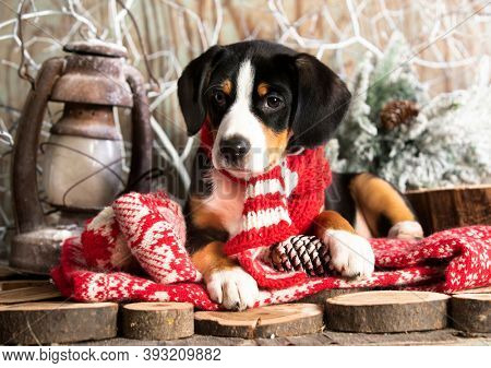 Appenzeller Mountain dog; in red scarves handmade, on the background of New Year's decor; Christmas dog